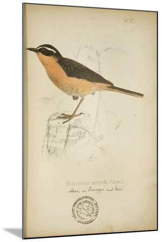 Bessonornis Semirufa, Ruppell, C.1863-Eduard Ruppell-Mounted Giclee Print