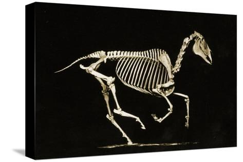 Skeleton of a Running Horse--Stretched Canvas Print