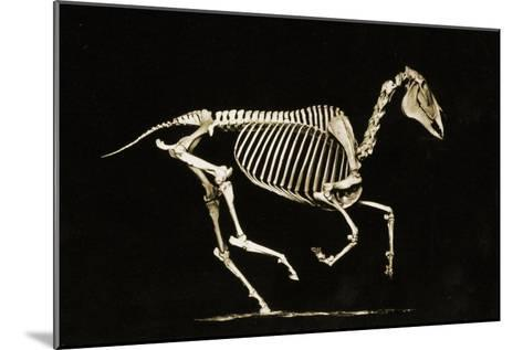 Skeleton of a Running Horse--Mounted Photographic Print