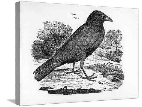 The Carrion Crow, Illustration from 'The History of British Birds' by Thomas Bewick, First…-Thomas Bewick-Stretched Canvas Print