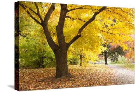 A Maple Tree in Full Colour in Arnold Arboretum, Boston, Usa--Stretched Canvas Print