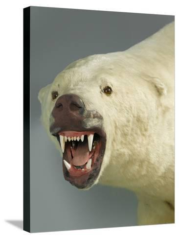 Polar Bear Shot by Cva Peel--Stretched Canvas Print