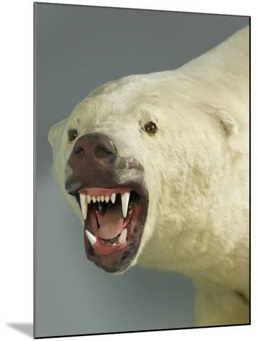 Polar Bear Shot by Cva Peel--Mounted Photographic Print
