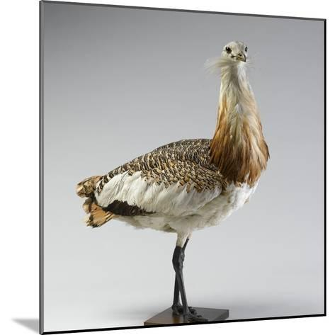 Great Bustard--Mounted Photographic Print
