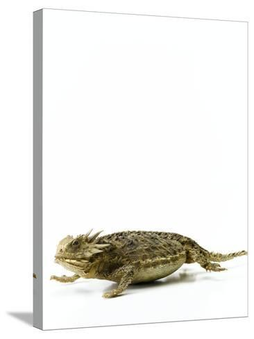 Texas Horned Lizard--Stretched Canvas Print