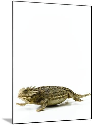 Texas Horned Lizard--Mounted Photographic Print