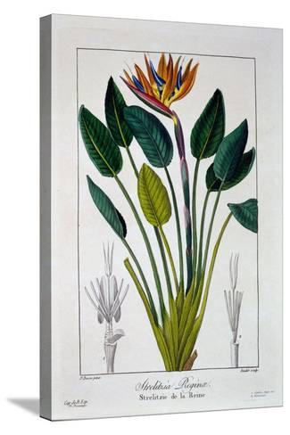 Bird of Paradise, or Crane Flower, 1836-Pancrace Bessa-Stretched Canvas Print