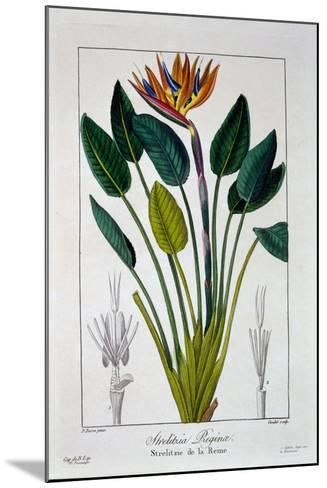 Bird of Paradise, or Crane Flower, 1836-Pancrace Bessa-Mounted Giclee Print