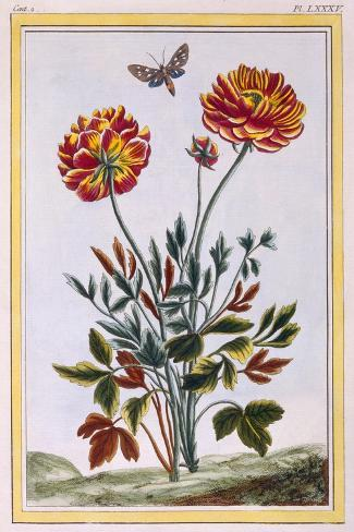 A Variety of Double Flowered Yellow Poppy, C.1776-Pierre-Joseph Buchoz-Stretched Canvas Print