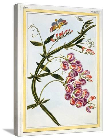 Le Grand Lathyre (Everlasting Sweet Pea), C.1776-Pierre-Joseph Buchoz-Stretched Canvas Print