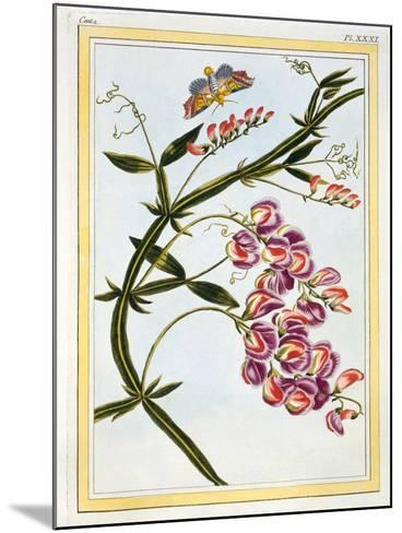 Le Grand Lathyre (Everlasting Sweet Pea), C.1776-Pierre-Joseph Buchoz-Mounted Giclee Print