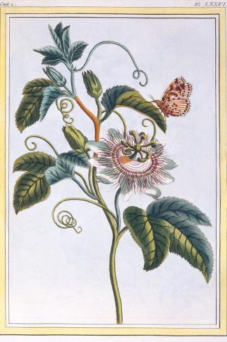 La Grenadille or Le Maracot (Blue Passion Flower), C.1766-Pierre-Joseph Buchoz-Stretched Canvas Print