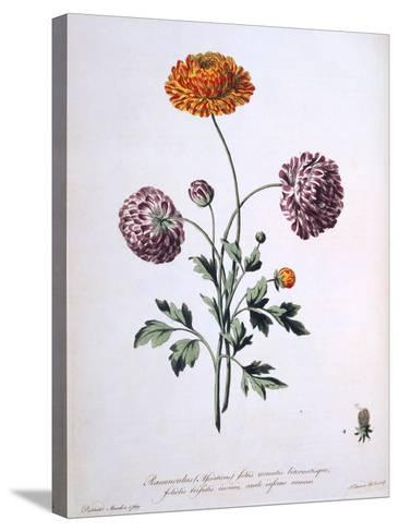 Ranunculus, Illustration from 'The British Herbalist', 1769-John Edwards-Stretched Canvas Print