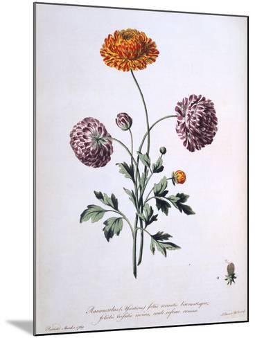 Ranunculus, Illustration from 'The British Herbalist', 1769-John Edwards-Mounted Giclee Print