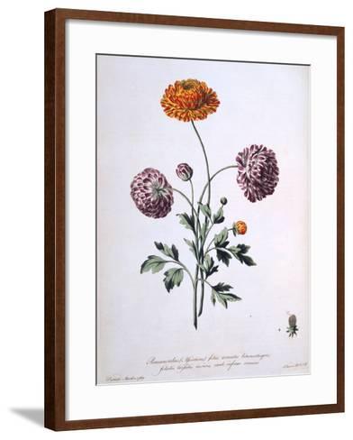Ranunculus, Illustration from 'The British Herbalist', 1769-John Edwards-Framed Art Print