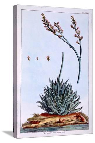 Aloe, Illustration from 'Collection Precieuse Et Enluminee Des Floura', by Pierre Joseph Buchoz,…-Pierre-Joseph Buchoz-Stretched Canvas Print