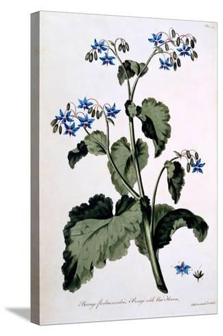 Borage with Blue Flowers, Illustration from 'The British Herbalist', March 1770-John Edwards-Stretched Canvas Print