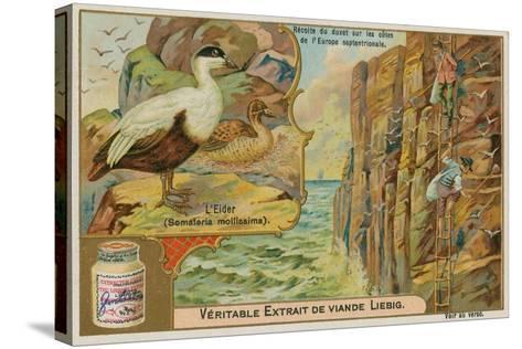 Eider Duck; Gathering Eider Down on a Northern European Coast--Stretched Canvas Print