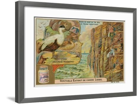 Eider Duck; Gathering Eider Down on a Northern European Coast--Framed Art Print