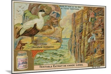 Eider Duck; Gathering Eider Down on a Northern European Coast--Mounted Giclee Print