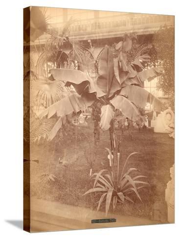 Banana Tree, Pennsylvania Centennial Exhibition, 1876--Stretched Canvas Print
