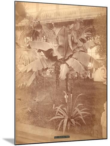 Banana Tree, Pennsylvania Centennial Exhibition, 1876--Mounted Giclee Print