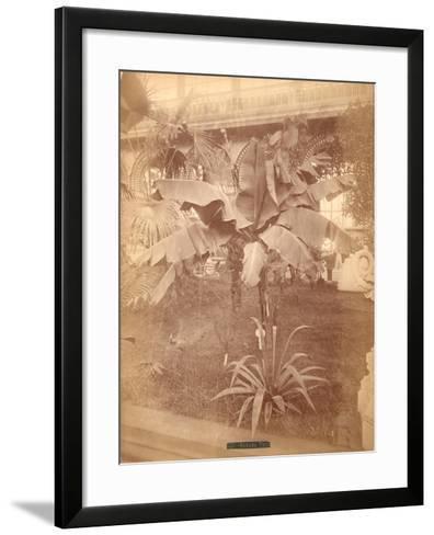 Banana Tree, Pennsylvania Centennial Exhibition, 1876--Framed Art Print