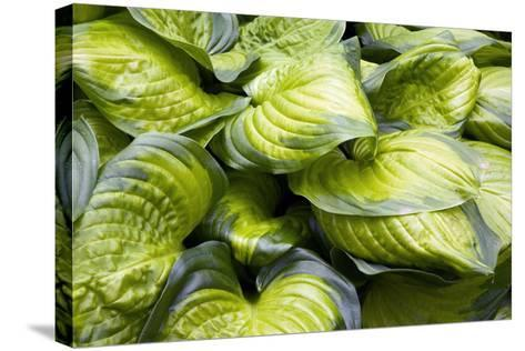 Hosta 'Stained Glass'-Adrian Thomas-Stretched Canvas Print