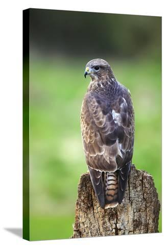 Common Buzzard-Colin Varndell-Stretched Canvas Print