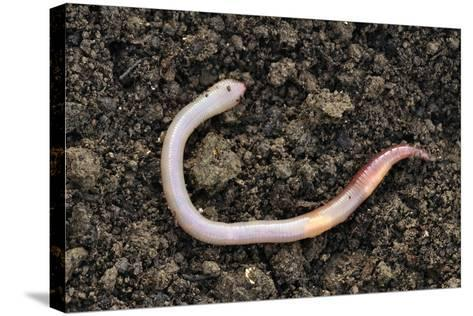 Common Earthworm-Colin Varndell-Stretched Canvas Print