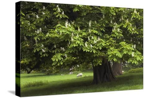 Horse Chestnut (Aesculus Hippocastanum)-Colin Varndell-Stretched Canvas Print