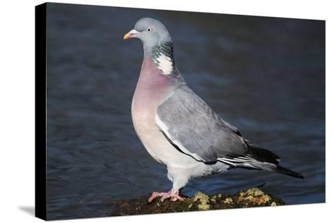 Wood Pigeon-Colin Varndell-Stretched Canvas Print