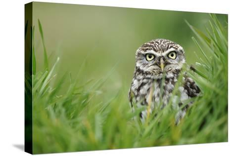 Little Owl-Colin Varndell-Stretched Canvas Print