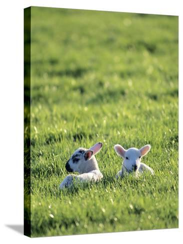 Lambs-Jeremy Walker-Stretched Canvas Print