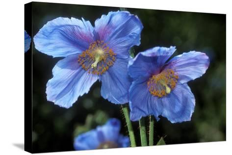 Himalayan Poppy (Meconopsis Grandis)-Dr. Keith Wheeler-Stretched Canvas Print