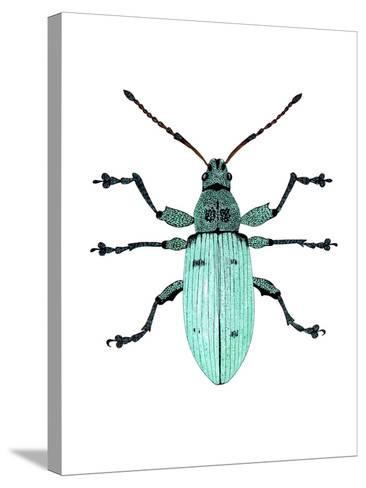 Nettle Weevil-Dr. Keith Wheeler-Stretched Canvas Print