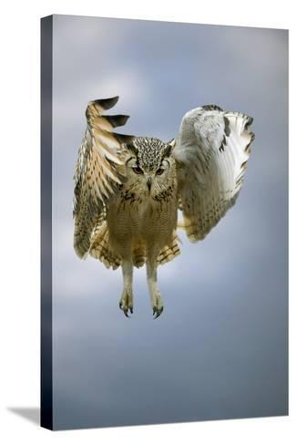 Bengalese Eagle Owl In Flight-Linda Wright-Stretched Canvas Print
