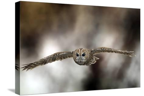 Tawny Owl-Linda Wright-Stretched Canvas Print