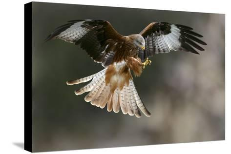 Red Kite-Linda Wright-Stretched Canvas Print