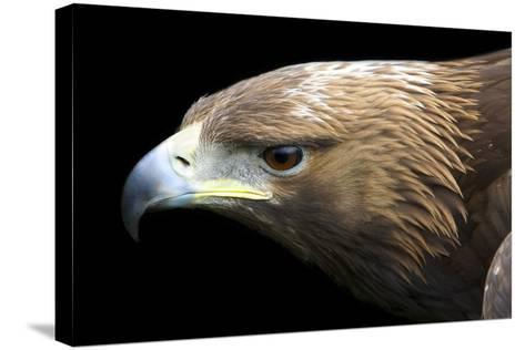 Golden Eagle-Linda Wright-Stretched Canvas Print