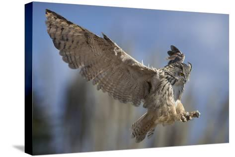 European Eagle Owl In Flight-Linda Wright-Stretched Canvas Print