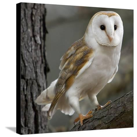 Barn Owl-Linda Wright-Stretched Canvas Print