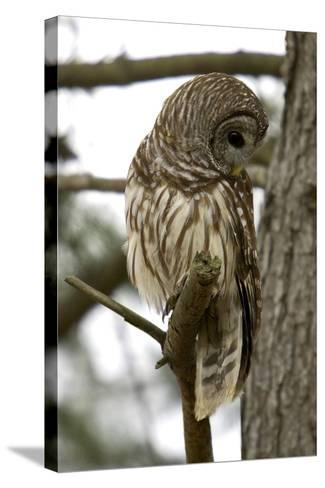 Barred Owl-Linda Wright-Stretched Canvas Print