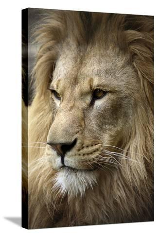 Lion-Linda Wright-Stretched Canvas Print