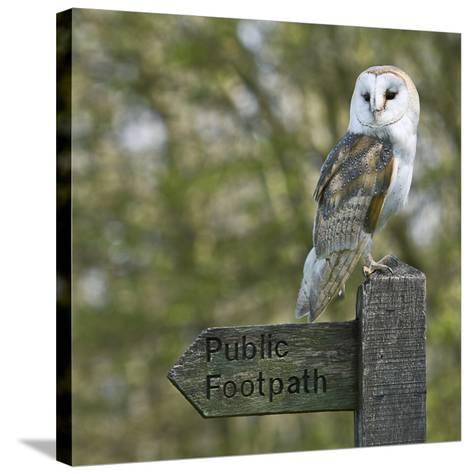 Barn Owl-Linda Wright-Stretched Canvas Print