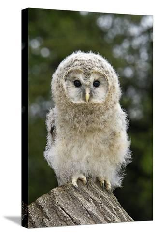 Young Ural Owl-Linda Wright-Stretched Canvas Print