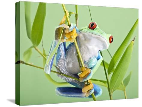 Red-eyed Tree Frog-Linda Wright-Stretched Canvas Print