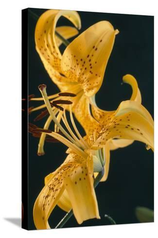 Tiger Lily Flowers-Archie Young-Stretched Canvas Print