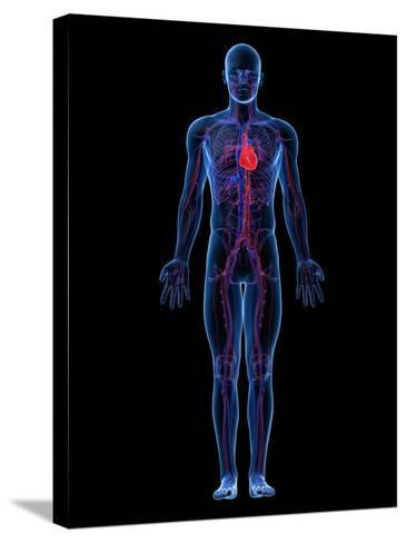 Cardiovascular System, Artwork-SCIEPRO-Stretched Canvas Print