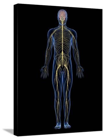 Human Nervous System, Artwork-SCIEPRO-Stretched Canvas Print
